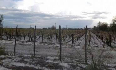 Así quedaron los viñedos en Chapanay, San Martín, tras la granizada