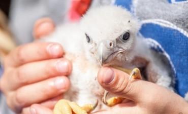 Liberan pichones de halcones para combatir plagas de palomas